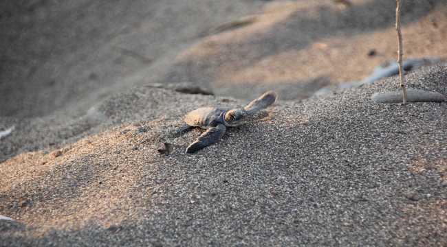 Mersin'de deniz kaplumbağalarının yuvalama alanları temizlendi