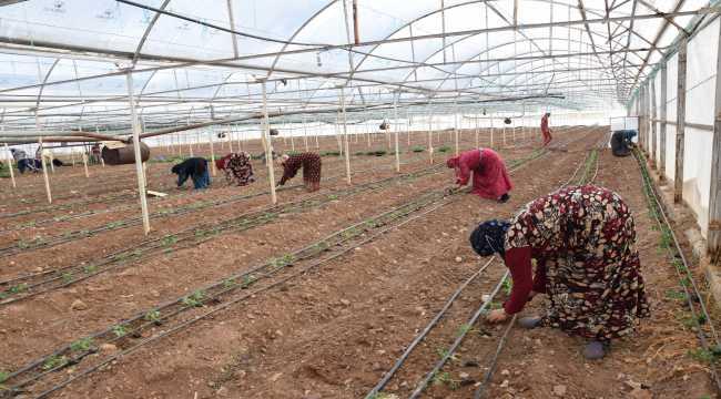 Kumluca'da güz sezonu domates dikimleri başladı