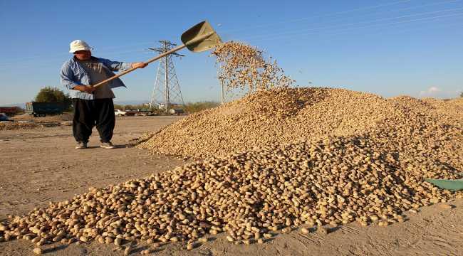 Çukurova'da yer fıstığı üretim alanı genişliyor
