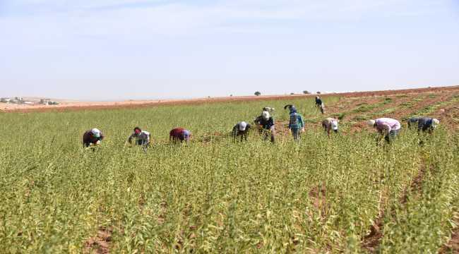 Konyalı üretici yerli susamdan 2,2 milyon lira kazandı