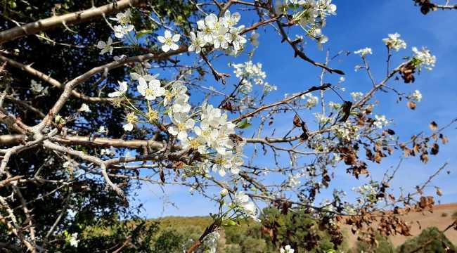 Sorgun'da armut ağacı ekim ayında çiçek açtı