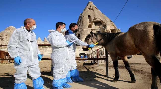 Kapadokya'nın atlarına mikroçip takılıyor
