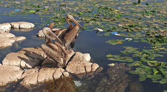 Hatay'da bakımları yapılan 2 pelikan doğaya salındı