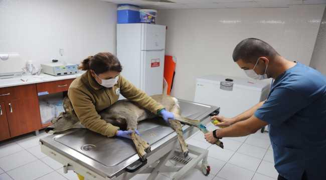 Yaralı karaca Eskişehir Hayvanat Bahçesi'nde tedavi altına alındı