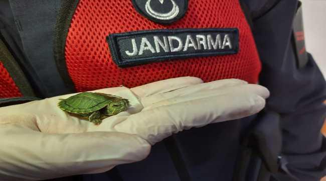 Şereflikoçhisar'da 100 adet kırmızı yanaklı su kaplumbağası ele geçirildi