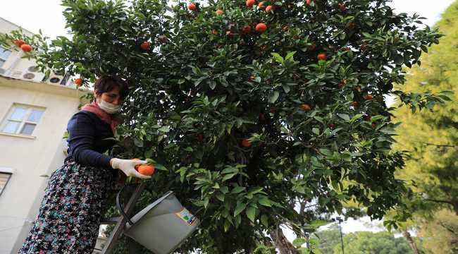 Belediye parkındaki turunçlar, reçele dönüştürülüyor
