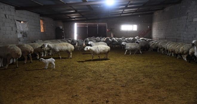 İl Tarım ve Orman Müdürü Şahin'den küçükbaş hayvan işletmesine ziyaret