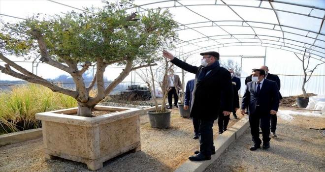 Kırşehir'de belediyenin seralarında gül ve çalı bitkileri yetiştiriliyor