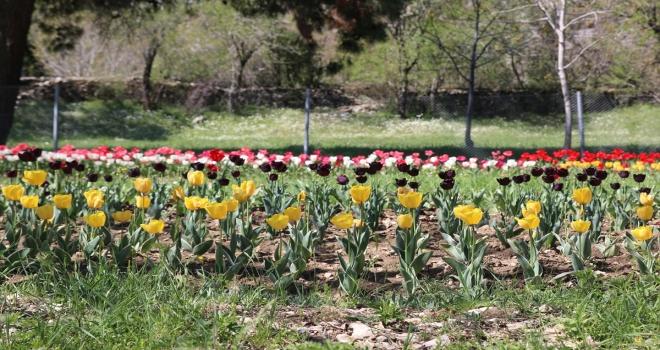 Antalya'da 10 bin lale soğanının açan çiçekleri görsel şölen sunuyor
