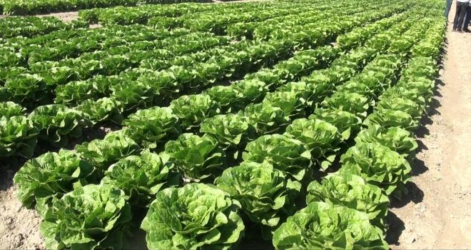 Beypazarı'nda üretilen sebzeler sofralara ulaşıyor