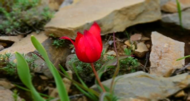 Kızılcahamam'da dağ lalesi güzelliği