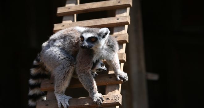 Lemur ailesinin ilk yavruları