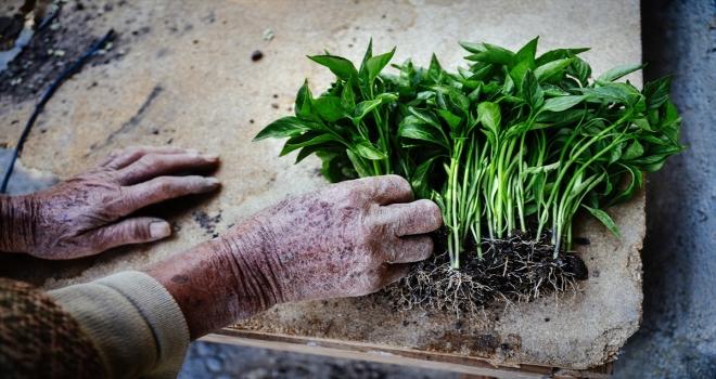 Anne ve kızları ata tohumuyla başladıkları fide üretiminde talebe yetişemiyor