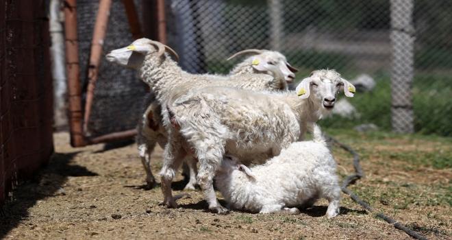 Tiftik keçisinin gen kaynağını koruyan işletmede, oğlaklar anneleriyle buluştu