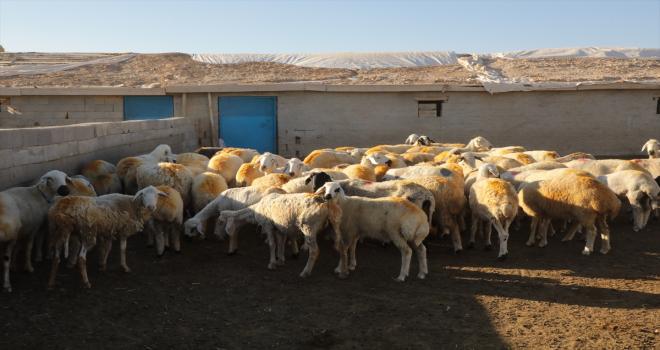 Aksaray Valiliği, koyunları telef olan üreticiyi sevindirdi