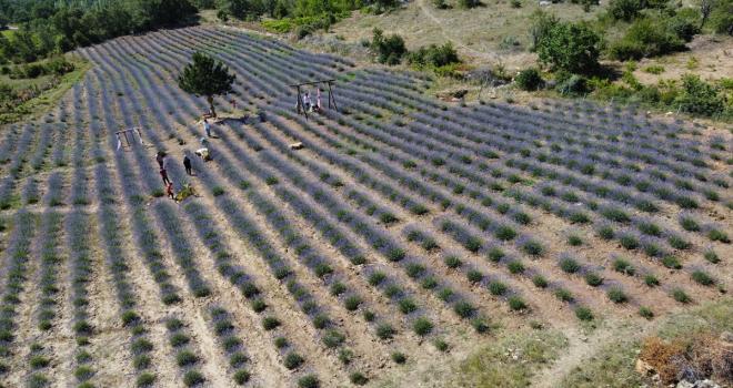 Dokuz aylık maaşıyla köyüne lavanta bahçesi kurdu