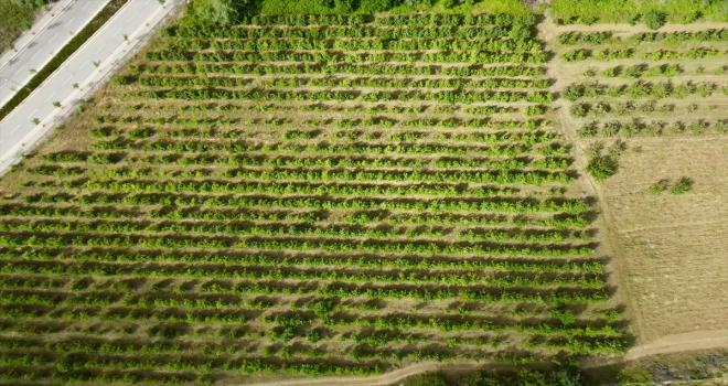 Halka açık üniversite çiftliğindeki meyveleri ziyaretçiler hasat ediyor