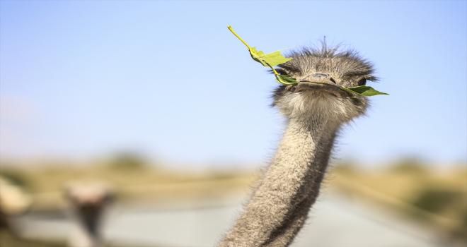 Kırşehir'deki çiftliğinde 26 yıldır deve kuşu yetiştiren emekli Gedikarslan, taleplere yetişmekte zorlanıyor