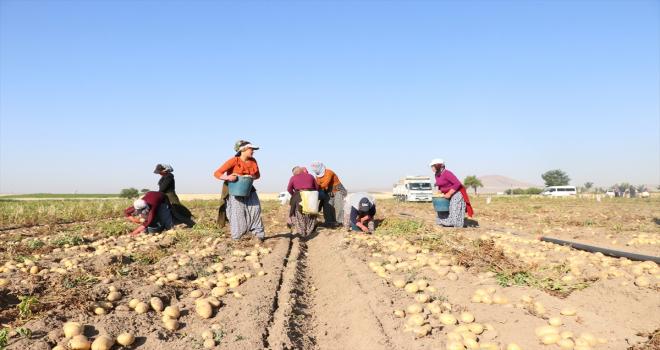 Niğde'de erkenci patateste 30 bin ton rekolte bekleniyor