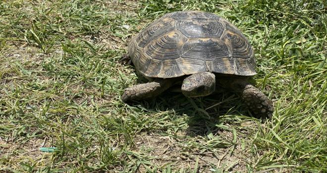 Niğde'de kaplumbağa, hortumdan sızan suyla serinledi
