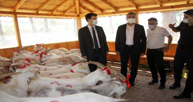 Suşehri'nde 71 ihtiyaç sahibi aileye kurbanlık keçi dağıtıldı