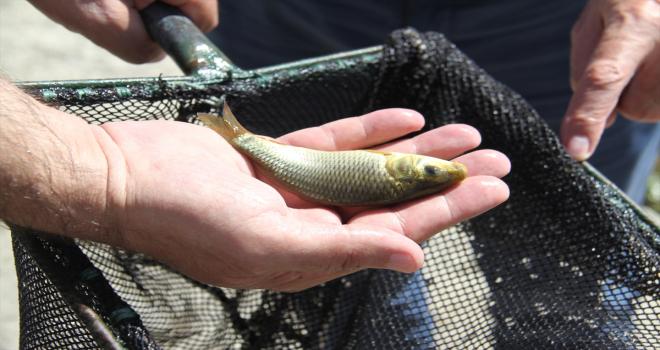 Konya'daki göl ve göletlere 1 milyon yavru sazan balığı bırakıldı