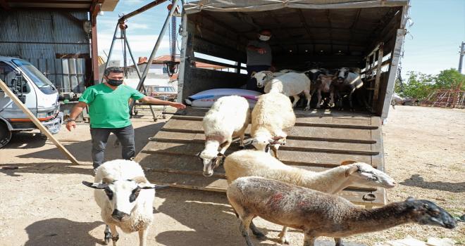 Antalya'da kurtların küçükbaş hayvanlarını telef ettiği aile belediyenin hediye ettiği 15 koyunla sevindi