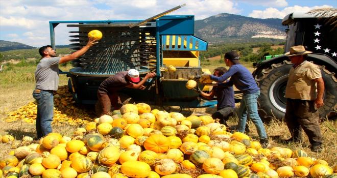 Beyşehir'de deneme amaçlı çekirdeklik kabak yetiştirildi