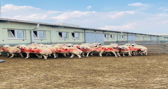Kangal Akkaraman koyunu üretim merkezinde koç katım etkinliği düzenlendi