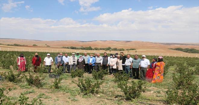 Kırşehir'de deneme ekimi yapılan aronyanın hasadı gerçekleştirildi
