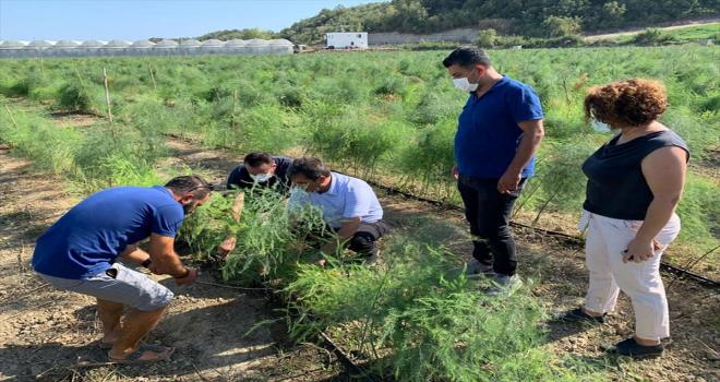 Serik Tarım ve Orman Müdürü Çömezoğlu, kuşkonmaz üreticisini ziyaret etti