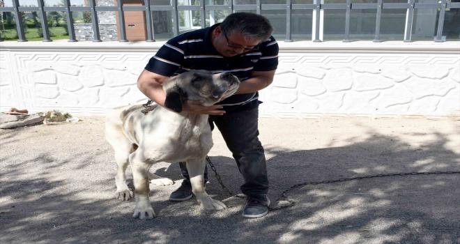 Aksaray'da üretim çiftliğinden çalınan malaklı cinsi köpek bulundu