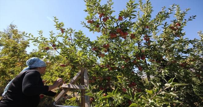 Kaş'ta elma hasadı devam ediyor