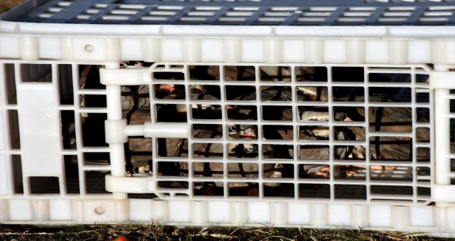 Kırşehir'de süneyle mücadele kapsamında 525 keklik doğaya bırakıldı