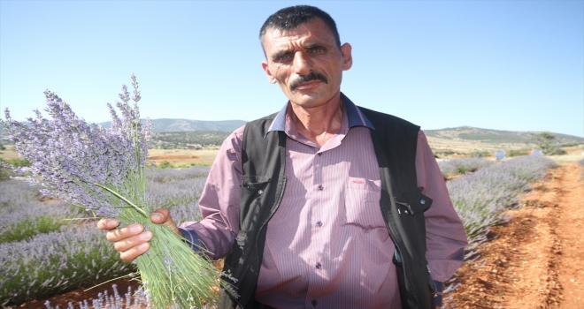 Konya'nın organik çilek üretim merkezi Hüyük'te lavanta üretimi yaygınlaşıyor