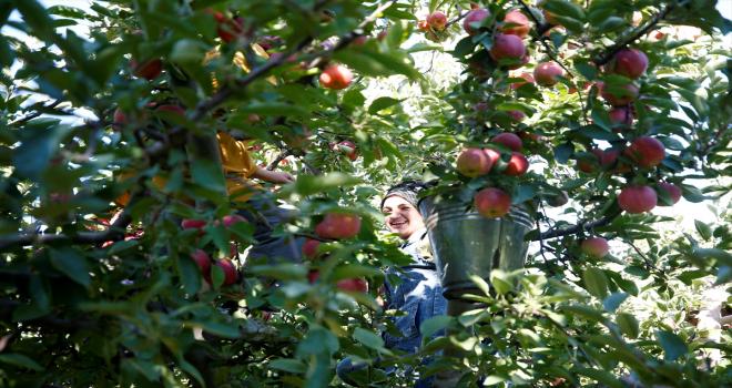 Yahyalı elmasında üretim alanı genişledi rekolte arttı