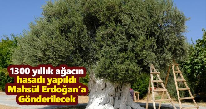 1300 yıllık ağacın hasadı yapıldı Mahsül Erdoğan'a Gönderilecek