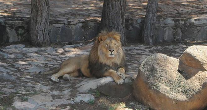 Gaziantep'te Hayvanat Bahçesinden Kaçan Aslan Bir Kişiyi Yaraladı!