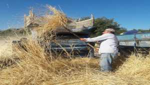Gülnar'da buğday hasadı başladı