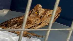 Antalya'da bulunan baykuş yavrusu, 5 ay sonra doğaya bırakıldı