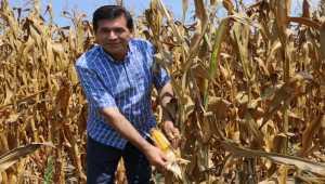 Kozan'da mısır hasatı başladı