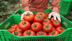 Örtü altı hasadına başlanan yayla domatesine talep arttı