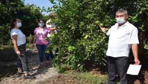Kumluca'da Akdeniz meyve sineğiyle mücadele başladı