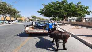 Mersin'de kamyonete bağlanarak sürüklenen eşeği polis kurtardı