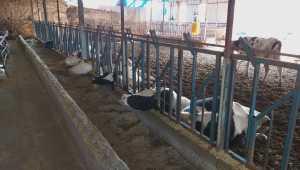 Tırın kopardığı elektrik kablosunun ahırın çatısına düşmesi sonucu 5 inek telef oldu