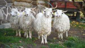 Güdül'den getirilen Ankara keçileri