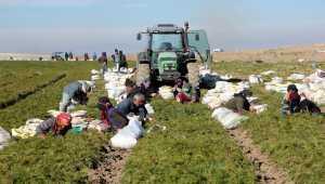 Beypazarı'nda havuç hasadı devam ediyor