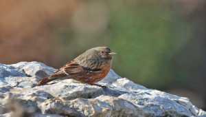 Hatay'da büyük dağ bülbülü kuşu görüntülendi