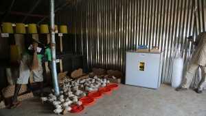 TİKA Güney Sudan'daki çiftçilere tavukçuluk ve arıcılık ekipmanı sağladı