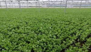 Mihalgazi ilçesinde seralarda yetişen semizotunun hasadına başlandı